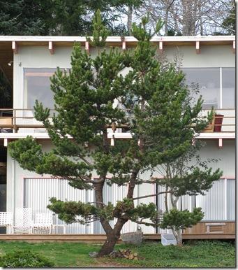 Outdoor Nature Study Pine Tree Bole Stem