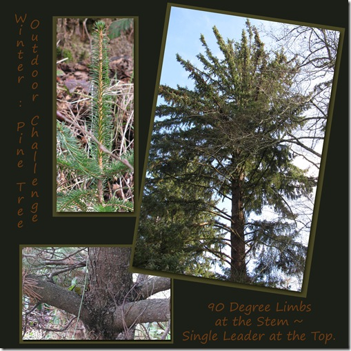 Outdoor Challenge Pine Winter 90 Degree Limbs Homeschool
