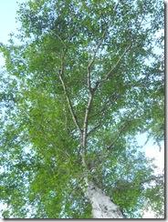 Tree Study, Nature, Elm, Listen