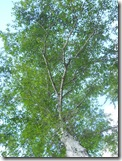 Tree Study, Nature, Elm, see birds
