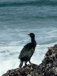 Cormorant, Pelagic