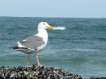 Gull, Western - No color on neck or head?