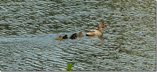 Baby-Ducks-May-13,-2011-1