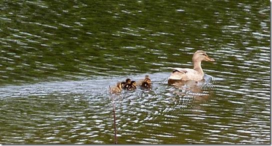 Baby-Ducks-May-13,-2011-2