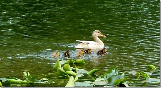 Baby-Ducks-May-13,-2011-3