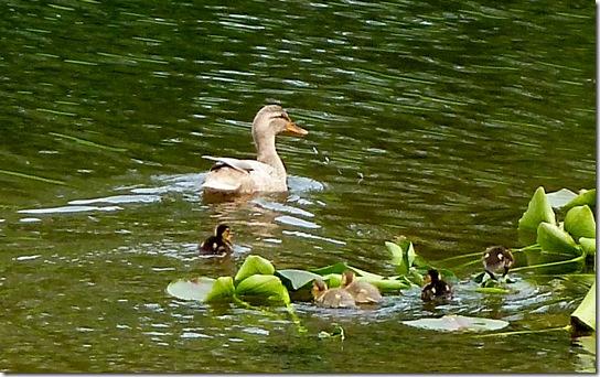 Baby-Ducks-May-13,-2011-4