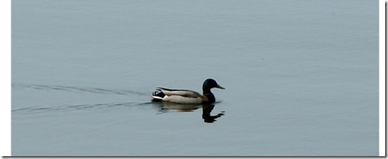 Baby-Ducks-May-13,-2011-5