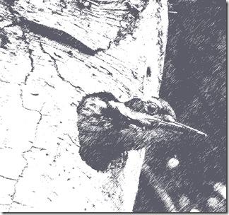Hairy-Woodpecker-2