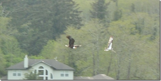 Eagle Chasing an Osprey - Osprey is holding a trout.