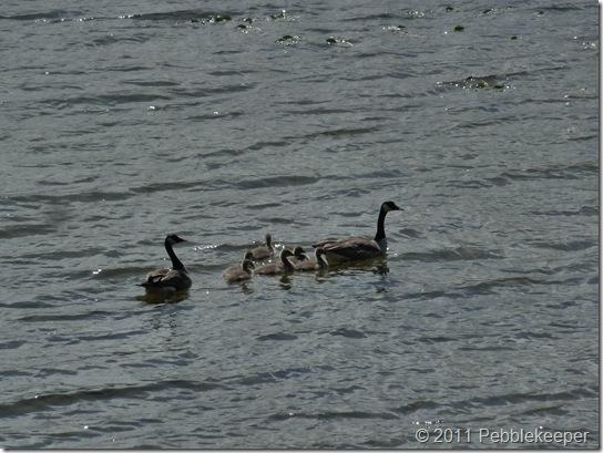 Goslings of the Canada Goose (Branta canadensis) 4