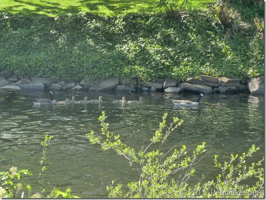 Goslings of the Canada Goose (Branta canadensis) 3