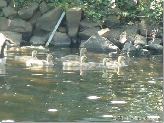 Goslings of the Canada Goose (Branta canadensis) 2