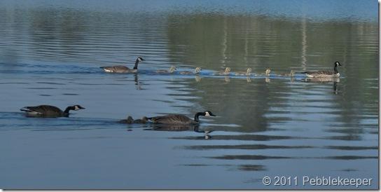 Goslings of the Canada Goose (Branta canadensis) 5