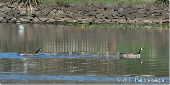 May 18 2011 Goslings of the Canada Goose (Branta canadensis) 7