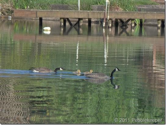 May 18 2011 Goslings of the Canada Goose (Branta canadensis) 8