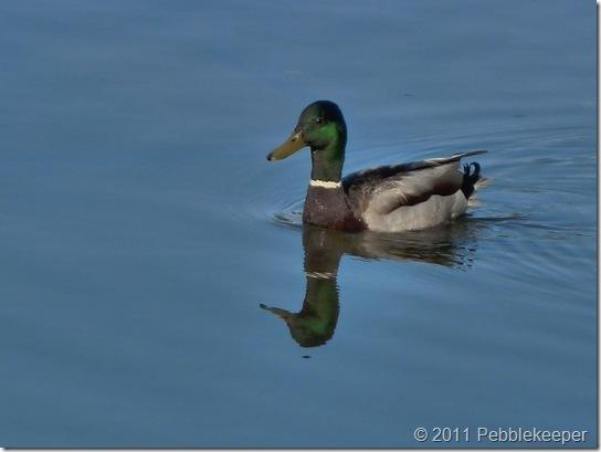Duck, Mallard, May 19, 2011