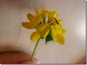 Lotus Corniculatus Bird's Foot Trefoil, Fabacea Side