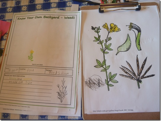 Lotus Corniculatus Bird's Foot Trefoil, Fabacea Notebook Page