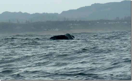 Humpback Whale Fluke (Tail)