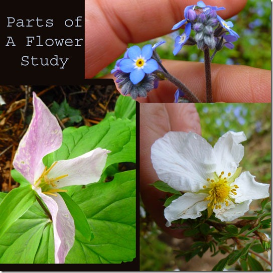 Parts-of-a-Flower-Trillium