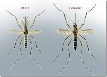 male-mosquitoes-300x215
