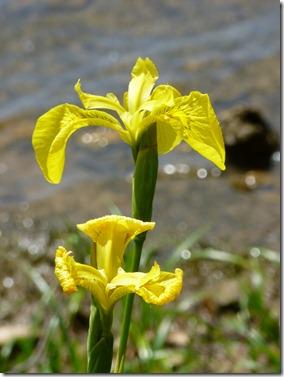 Iris Water
