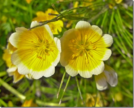 Buttercup White Edges