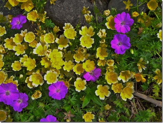 Buttercup with Purple Flowers