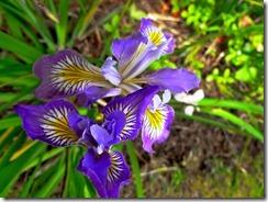 Iris double bloom