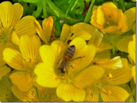 Buttercup pollination