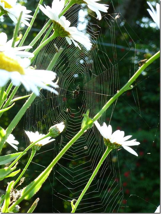 orb spider web daisy