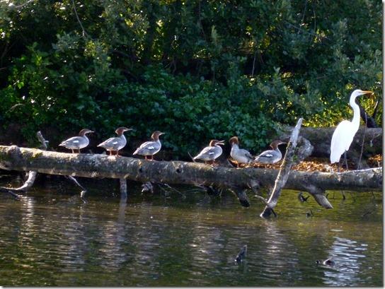 Mergansers Egret