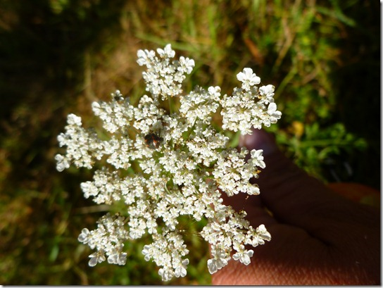 Queen Anne's Lace Insect