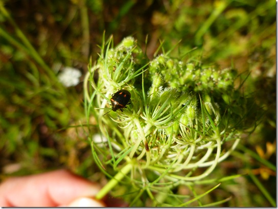 Queen Anne's Lace Insects