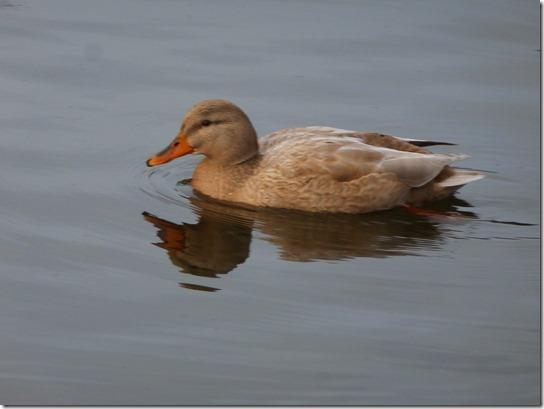 Goldie Bird (1)