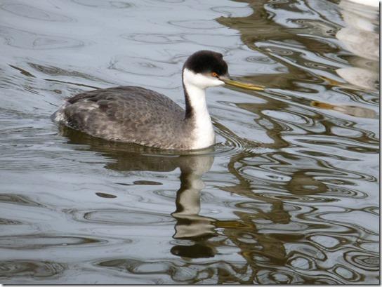 Grebe Bird (3)