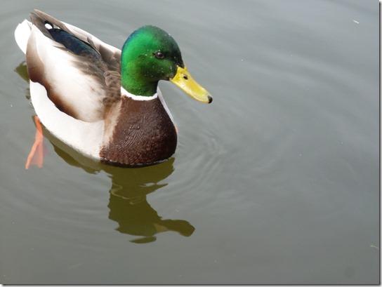 mallard Bird (2)