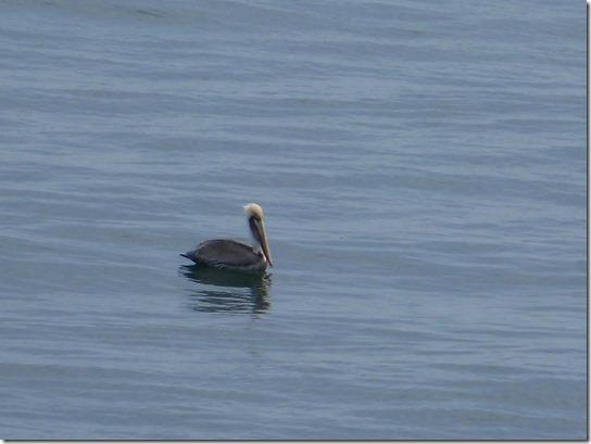 Pelican Bird (1)