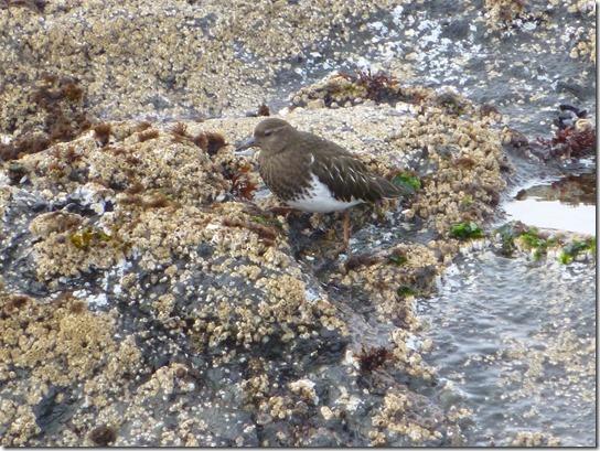 shore bird (5)