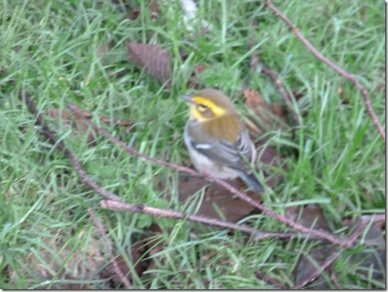 Townsends bird (5)