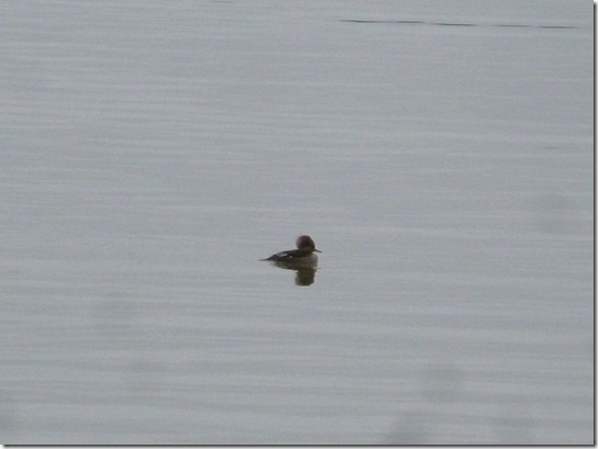 Eagle Lake Feeding poor bird