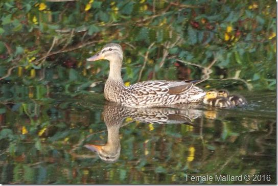 Mallard and Baby Ducks